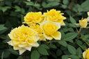 ミニバラ イースターイエロー3.5号鉢植え♪優しい黄色が魅力/鉢花/ 10P03Dec16