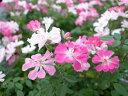 白からピンク ミニバラ レンゲローズ3株セット 花苗 ミニ薔薇 販売 種類