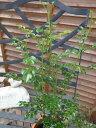 シマトネリコ3.5号♪細かなグリーンの葉が魅力/モクセイ科/半落葉広葉高木/庭植えすればシンボルツリ