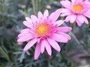 マーガレット キューティーマイス4号鉢植え♪3倍のボリューム/花苗/マーガレット/長い期間楽しめる花/ガーデニング/花/鉢花/鉢植え/販売/通販/種類 10P03Dec16