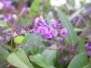 ハーデンベルギア パープル5号 鉢花 枝垂れるように咲く小花が魅力 販売 通販 種類 常緑蔓性低木 別名 コマチフジ 花 フラワー 販売 通販 種類