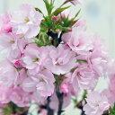 桜 盆栽 サクラ 山桜・旭山苔玉・受け皿付 ピンク お部屋でサクラ 桜 花見【鉢花】 さくら