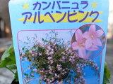 カンパニュラ・アルペンピンク苗♪枝垂れ咲く星型の花が魅力/スタンド鉢 ハンギング 寄せ植えに人気/多年草/花苗カンパニュラ・アルペンピンク苗♪枝垂れ咲く星型の花が魅力/スタンド鉢