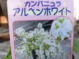 カンパニュラ・アルペンホワイト苗♪枝垂れ咲く星型の花が魅力/スタンド鉢 ハンギング 寄せ植えに人気/多年草/花苗カンパニュラ・アルペンホワイト苗♪枝垂れ咲く星型の花が魅力/スタンド