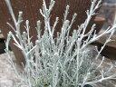 カロケファルス・プラチーナ苗♪銀色に輝くシルバーリーフが魅力。寄せ植えアイテムに人気です。キク科/常