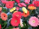 ガーベラ4号鉢植え3鉢セット鉢花多年草花フラワー販売通販種類