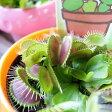 野々山園芸さんの食虫植物♪ハエトリソウ3号サイズ 鉢植え【ハエトリグサ】【ハエトリ草】【食虫植物】【販売】【通販】【種類】 10P01Oct16