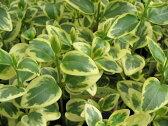 ツルニチニチソウ 花苗 ツルニチソウ 斑入り葉がきれいな 花苗 リーフ リーフプランツ ハンギング 庭植え 水色の花 グリーン 販売 通販 種類