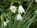 可憐な白花♪スズランスイセン スノーフレーク大苗【水仙】【球根】
