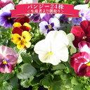 パンジー24株セット♪鮮度優先、生産農家、朝取り【花苗】【パンジー】【種類】