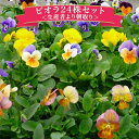 ビオラ24株セット♪鮮度優先、生産農家、朝取り【花苗】【ビオラ】【種類】