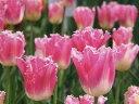チューリップ♪人気チューリップ・ファンシーフリル5球セット【チューリップ】【球根】【Tulip】販売 通販 種類【ちゅーりっぷ】 10P03Dec16