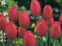 チューリップ♪富山の清流チューリップB・バーガンディレース5球セット【チューリップ】【球根】【Tulip】販売 通販 種類【ちゅーりっぷ】