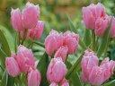 チューリップ♪富山の清流チューリップB・フリンジドファミリー5球セット【チューリップ】【球根】【Tulip】販売 通販 種類【ちゅーりっぷ】