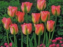 チューリップ♪人気チューリップ・グリーンランド5球セット【チューリップ】【球根】【Tulip】販売 通販 種類【ちゅーりっぷ】 10P03Dec16
