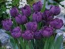 チューリップ♪人気チュ−リップ・ブルーダイヤモンド5球セット【チューリップ】【球根】【ブルーダイヤモンド】【Tulip】販売 通販 種類【ちゅーりっぷ】