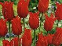 チューリップ♪JAPANフラワーバルブオブザイヤー・プリティウーマン6球セット【チューリップ】【球根】【Tulip】販売 通販 種類【ちゅーりっぷ】