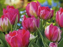 チューリップ♪JAPANフラワーバルブオブザイヤー・フラッシュポイント6球セット【チューリップ】【球根】【Tulip】販売 通販 種類【ちゅーりっぷ】