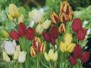 チューリップ♪変わり咲きチュ-リップ5球混合・富山産枝咲きチューリップ5球セット【チューリップ】【球根】【Tulip】販売 通販 種類【ちゅーりっぷ】 10P03Dec16
