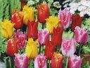 チューリップ♪変わり咲きチュ-リップ5球混合・富山産フリンジ咲きチューリップ5球セット【チューリップ】【球根】【Tulip】販売 通販 種類【ちゅーりっぷ】