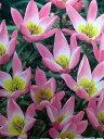 植えっぱなしで毎年花が咲くチューリップ・プルケラフミリス7球セット【チューリップ】【球根】【Tulip】販売 通販 種類【ちゅーりっぷ】