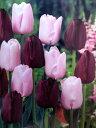 チューリップ早割♪そろい咲きチューリップデュオ・ピンクダイヤモンド&クインオブナイト10球セット【チューリップ】【球根】【Tulip】