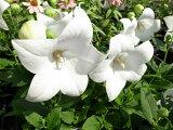 桔梗 キキョウ ホワイト 花苗 ききょう 毎年楽しめる宿根草 花芽付き 販売 通販 種類 Perennial plant