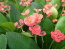 花キリン4号鉢植え 鉢花 キリンのようにどんどん伸びる♪朱色の丸い花が可愛らしいです 常緑性多年草 販売 通販 種類