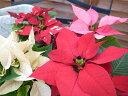 ポインセチア3株セット♪クリスマス飾りに最適!カラフルで可愛らしいミニチュアサイズ/常緑低木/トウダイグサ科/サンタ/サンタクロース/花苗/ガーデニング/販売/通販/種類