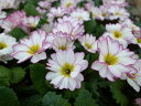 プリムラジュリアン・シルキー3株セット♪清楚な純白とパープルの花色が魅力です/花芽付き/サクラソウ科/多年草/販売/通販/種類