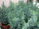 コニファー シルバースター4号鉢植え♪シンボルツリー等にも人気/ブルー味を帯びた葉色が魅力的です/ヒノキ科/常緑高木