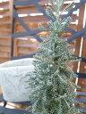 ミニチュアサントリナツリー苗♪ハーブ/クリスマスの寄せ植えに最適/シルバーに輝く葉色が魅力的/常緑低木/耐寒性に優れ冬期の寄せ植えに/販売/通販/種類