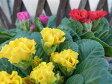 八重咲プリムラジュリアン・キャンディー・インブライト3鉢セット/フリル咲のカラフルな花色/サクラソウ科/多年草/鉢花/販売/通販/種類 バレンタイン プレゼント ヴァレンタイン 10P07Feb16