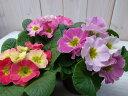 花色が変わるジュリアン苗3株セット/珍しいジュリアン/長い期間楽しめる花/咲進むにつれ花色の変化が楽しめる/花苗/販売/通販/種類