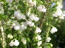 スズランエリカ4号 鉢植え♪スズランのような白い小花が可愛らしい/清楚で長持ちする花/販売/通販/種類/常緑低木/蕾いっぱい/