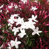 ハゴロモジャスミン苗 花苗 蕾沢山♪花が開き始めると甘い香りいっぱい楽しませてくれます モクセイ科 常緑蔓性低木 花芽付き