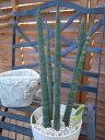サンスベリア スタッキー4号 鉢植え 観葉植物 サンスベリア 空気清浄植物のサンスベリア