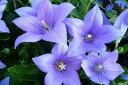 キキョウ ブルー 桔梗 大株苗 切り花にも楽しみで丈夫で毎年楽しめる花 花苗 耐寒性多年草