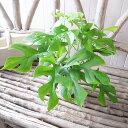 モンステラ4号 鉢植え グリーン 観葉植物 モンステラ 切れ込みのある葉 モンステラ