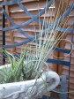 エアプランツ3株セット空気中の水分で生きる植物 エアープランツ 吊り下げ 常緑多年草 ガラスの器に載せて部屋で楽しめる簡単植物 エアプランツ 吊るす 販売 通販 種類 02P28Sep16