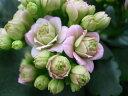 カランコエ ローズフラワーピンクパリ 八重咲き