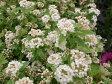斑入り ピンク コデマリ こでまり 庭植えで毎年楽しめます 花は咲くと白花ですが、蕾の時ほんのりピンクがのって可愛らしい花苗 販売 通販 種類 バレンタイン プレゼント ヴァレンタイン