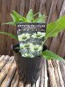 RoomClip商品情報 - エキナセア 苗 グリーンジュエル 花苗 切り花やドライフラワーにもなるイングリッシュガーデンの人気者 花芽付き 販売 通販 種類