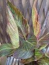 カンナ ベンガルタイガー 観葉植物 多年草 斑入り葉にオレンジの花が魅力 販売 通販 種類