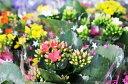 カランコエ ミリオンスター 2.5号サイズ 販促景品に最適!小さな花のギフト 多年草 サボテン同様水も控えめな鉢花 販売 通販 種類
