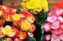 リーガースベコニア3.5号 鉢植え 販促 景品 等に人気!色とりどり 鉢花 プレゼント 花 フラワー 販売 通販 種類【10P05Apr14M】