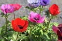 アネモネ3株セット♪多年草 花芽付き 早春に毎年楽しめる花 花苗 販売 通販 種類