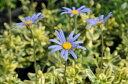 斑入りブルーデージー苗♪ブルーの花が魅力的!デイジー【花苗】【デージー】