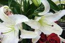 カサブランカ 百合 ユリの王様 ゆり カサブランカ芽出し苗 球根 花苗 毎年楽しめる球根草 純白の大輪 販売 通販 種類