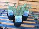 アメリカンブルー 3株セット アメリカンブルー苗 暑い夏にブルーの花アメリカンブルー